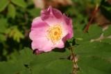 Wild flower, Rocky Mountain NP