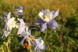 Wild flower, Stillwater