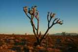 Joshua Tree at Pahrump Valley