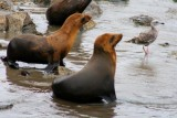 4319 Sea lions at Monterey.jpg