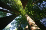 4689 Looking up Redwoods.jpg