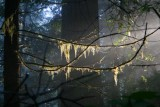4746 Moss hanging from branch.jpg
