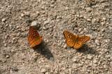 5166 Butterflies Sawtooth.jpg