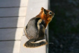 5470 Chipmonk Yellowstone.jpg