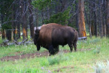 5539 Bison Yellowstone.jpg