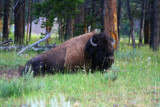 5540 Bison Face Yellowstone.jpg
