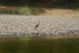 5887 Heron Alberton Gorge.jpg