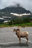 5942 Bighorn Sheep Glacier.jpg