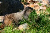 6518 Marmot at Cavell Meadows.jpg