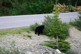6719 Black Bear feeding.jpg