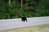 6720 Black bear crossing road.jpg