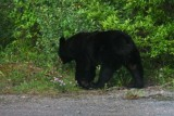 6722 Black Bear close-up.jpg