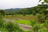 1402 Rice paddies and trees.jpg
