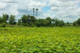 3847 Lilly pads countryside.jpg