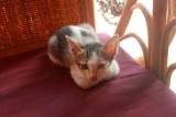 3875 Kitten Siem Reap.jpg