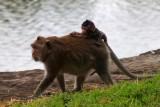 4213 Monkey carrying baby.jpg