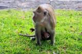 4220 Monkey carrying baby.jpg