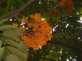 OrangeFlowerTreeFortCanning2006-02-15 034.JPG