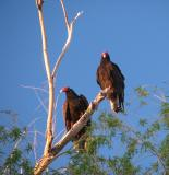 Turkey Vultures are back!