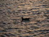 Lone duck at sunset............