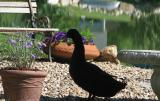 Daddy Duck standing guard in the shade...........