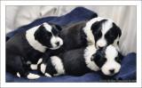 Bailey's Puppies