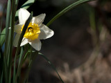 Coy Daffodil 23/08