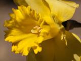 Sunny Daffodil 26/08
