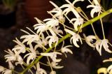 Sydney Rock Orchid 22/08