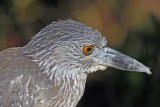 Yellow Crowned Night Heron (immature)
