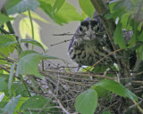 Rose-breasted Grossbeak Female - Nest Building