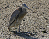 Great Blue Heron on his knees