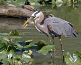 Great Blue Heron with Blue Gill
