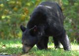 Black Bear Big Meadows NP Va