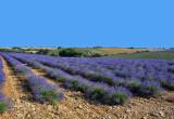 Lavende Field Puimoisson  Fr