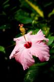 Hibiscus - Pink Hibiscus #2