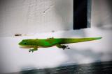 Gecko RD-499