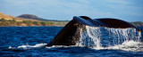 Humpback Whale - tail RD-556