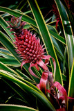 Red Pinapple