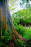 Painted Eucalyptus RD-570