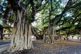 Lahaina banyan tree 02988