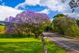 Jacaranda tree 07838