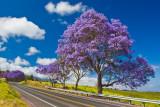 Jacaranda tree 13310