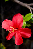 hibiscus 13853