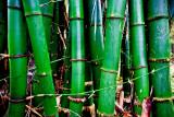 Bamboo RD-609