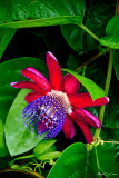 Passion flower  RD-615