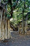 Lahaina banyan tree RD-626