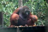 Big Man of Semenggoh >>