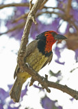 Black-collared Barbet (Lybius torquatus)