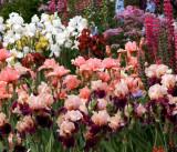 Salem's Iris Gardens